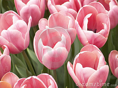 Pink Tulips Up Close
