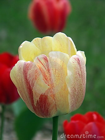 Yellow & Red Tulip