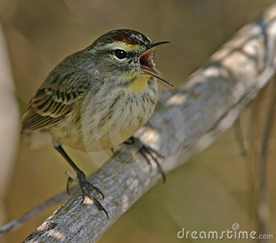 Singing palm warbler