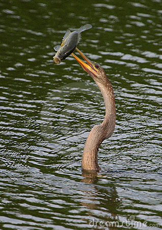 Anhinga with speared large-mouth bass