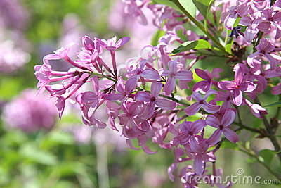 Beautiful Purple Lilac Blossoms