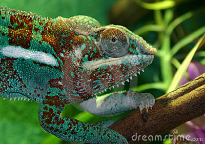 Colorful Lizard