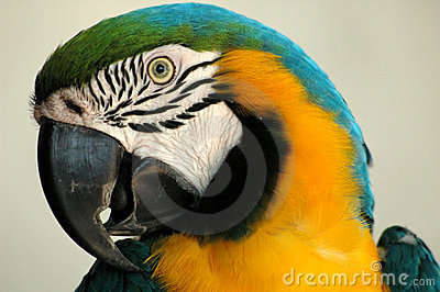 Portrait of a colorful parot