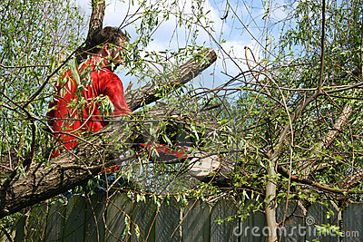 Man With Chainsaw In Fallen Willow Tree