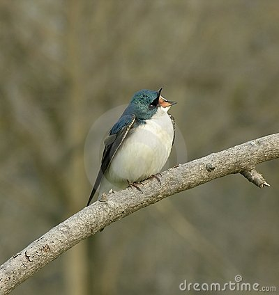 Singing Swallow