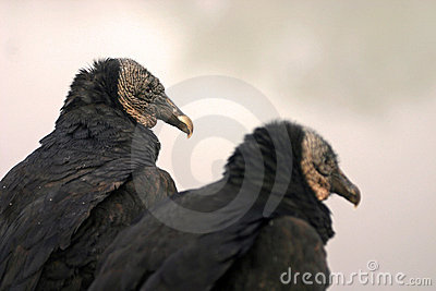 Black vulture pair