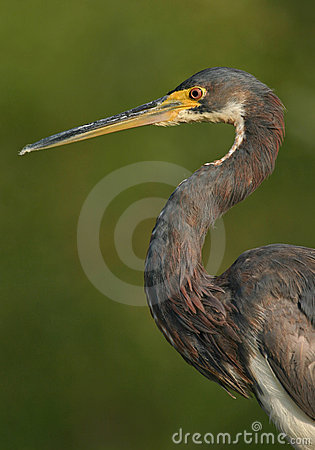Tricolored heron portrait