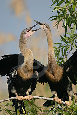 Two anhingas