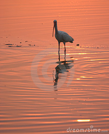 White ibis in water at sunset