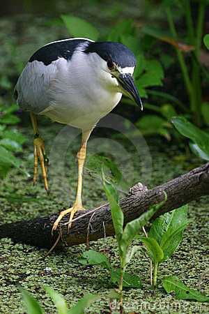 Walking black crowned night heron