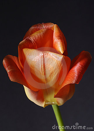 Red tulip flower in bloom