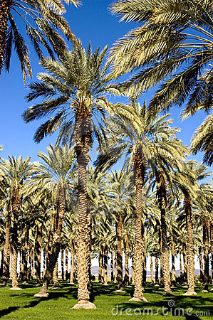 Southwest Date Palm Trees