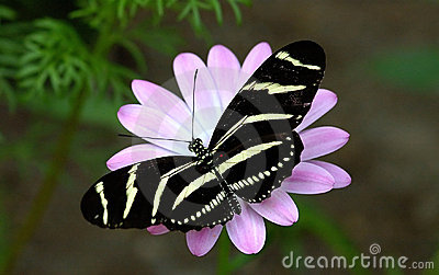 Zibra colored butterfly