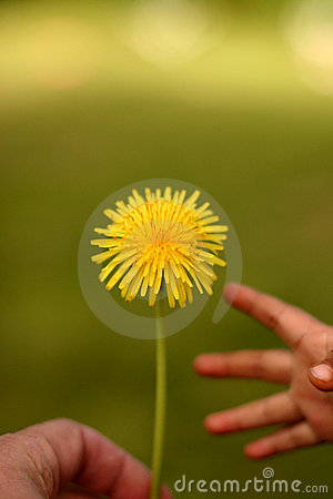 Dandelion child