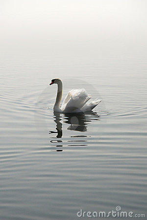 Single swan reflection