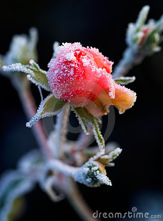 A frosty rose bud