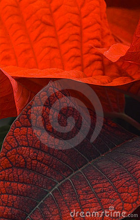 Red poinsettia leaves