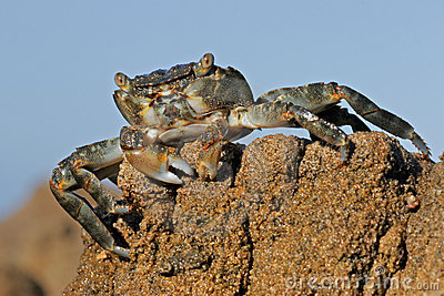 Green rock crab