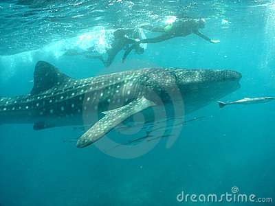 Whale shark with snorkelers