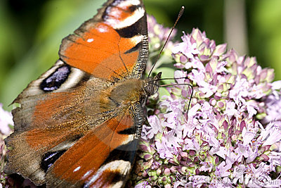 Peacock butterfly and flower