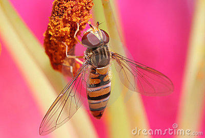 Hover Fly with Detailed Wings