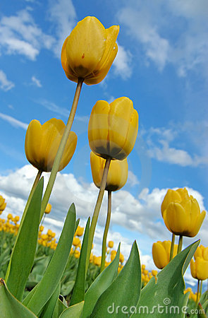 View of Yellow Tulips from under
