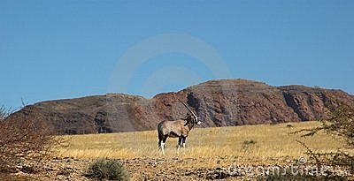 Oryx in the desert