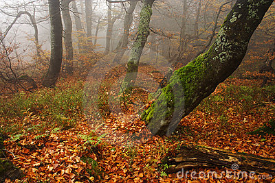 Foggy forest in Giant mountains