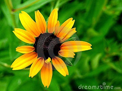 Black-Eyed Susan -1