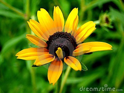 Black-Eyed Susan -3