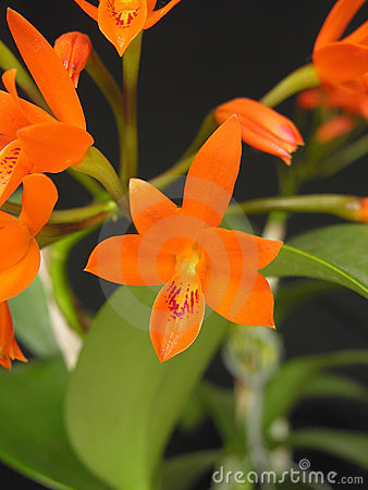 Orchid: Guarianthe aurantiaca