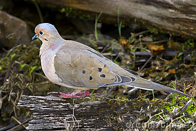 Mourning Dove, Cuyahoga Valley National Park, Ohio USA