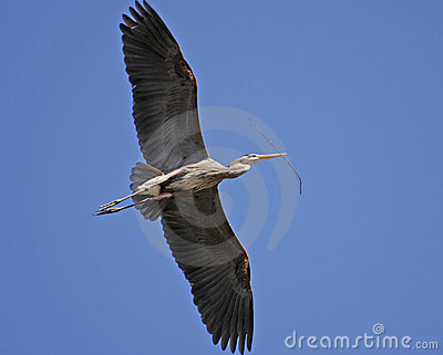 Great Blue Heron, Cuyahoga Valley National Park, Ohio USA