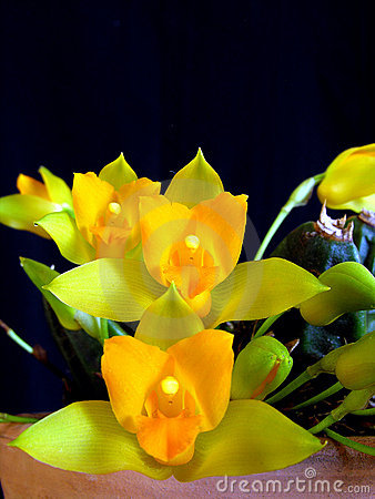 Orchid: Lycaste cochleata