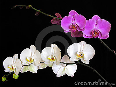 Orchid: Phalaenopsis hybrids