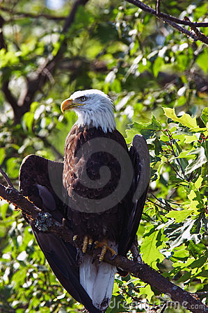 Bald Eagle Wings Slightly Spread in Tree