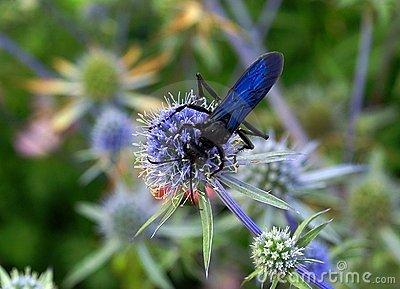 Blue Mud Dauber wasp