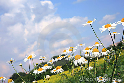 Chamomiles (camomile ) and sky.