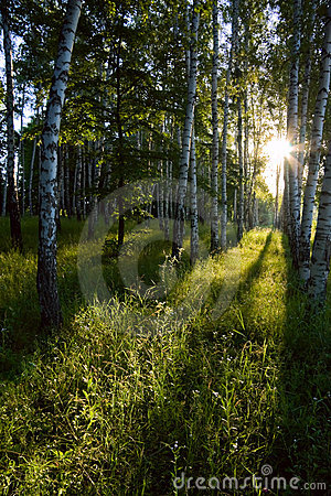 Birch forest in the morning