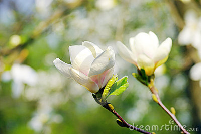 Spring Blossoms of a Magnolia