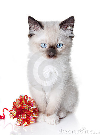 Ragdoll kitten with ribbon