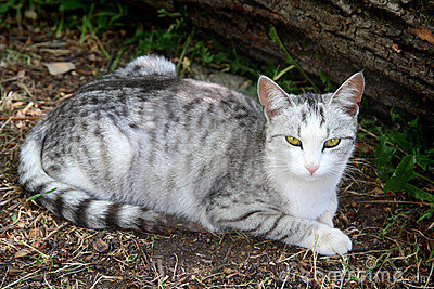 Lying gray striped cat