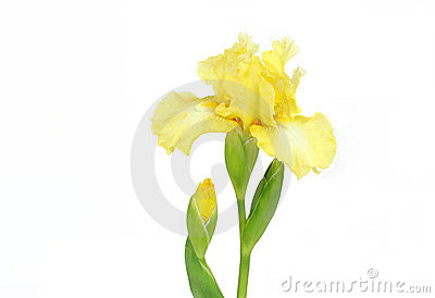 Elegant Yellow Iris on White
