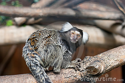 Tamarin on tree branch