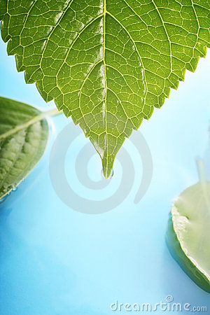 Hydrangea leaves on water