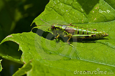 Green grasshopper sitting on a leaf