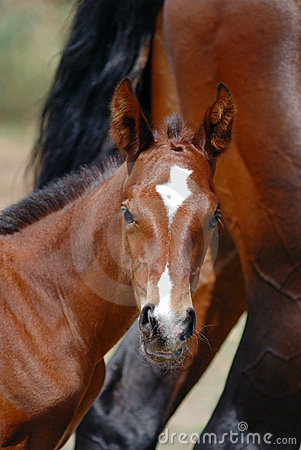 Curious thoroughbred horse foal