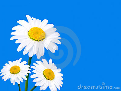 Three camomile on blue background