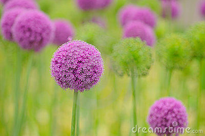 Allium flower close up