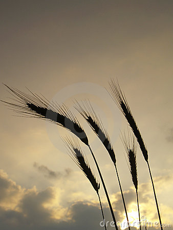 Silhouettes of five barley ears